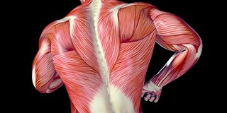 Illustrazione umana di anatomia del corpo maschio di una parte posteriore dell'essere umano con i muscoli visibili illustrazione di stock