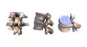 Illustrazione un il pezzo del vertebrale Fotografia Stock