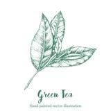 Illustrazione verde di vettore della foglia di tè Schizzo organico del disegno della mano del ramo floreale Immagine Stock Libera da Diritti