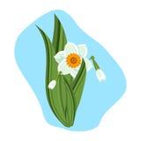 Illustrazione verde di vettore della pianta della natura dei bei narcisi Fotografia Stock