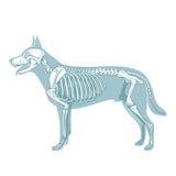 Illustrazione veterinaria di scheletro di vettore del cane Fotografie Stock Libere da Diritti