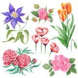 Illustrazioni botaniche dell'acquerello dei fiori di estate royalty illustrazione gratis