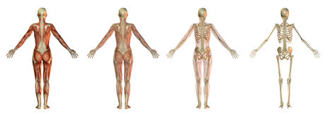 Illustrazioni del corpo umano Fotografia Stock Libera da Diritti
