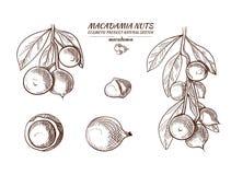 Illustrazioni disegnate a mano messe, schizzi della noce di macadamia di vettore illustrazione vettoriale