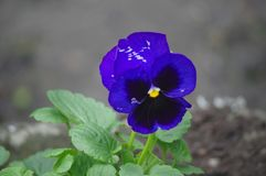 The Illustrious Purple Pansy stock photo