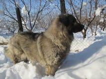 Illyrianherder Dog Sarplaninac aan uw aandacht royalty-vrije stock afbeelding