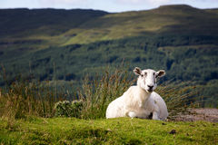 Ilse of Mull Sheep Royalty Free Stock Images