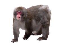 Ilsken baboon Arkivfoton