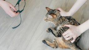 Ilsken Bengal katt på veterinären stock video