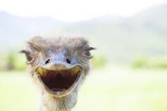 Ilsken bird.ostrich-framsida arkivbilder