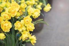 Ilsken blick för påskliljor och för sol för vårblommor gul arkivfoton