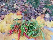 Ilsken chili, chilipeppar på bakgrunden av höstbladet arkivfoton
