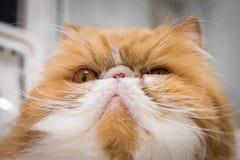 Ilsken Closeup Cat Portrait Arkivbilder