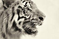 Ilsken framsida av den kungliga Bengal tigern, Panthera Tigris, Indien Arkivbild