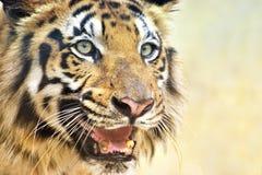 Ilsken framsida av den kungliga Bengal tigern, Panthera Tigris, Indien Royaltyfri Bild