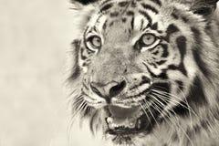 Ilsken framsida av den kungliga Bengal tigern, Panthera Tigris, Indien Arkivfoto
