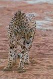 Ilsken gepard Royaltyfria Bilder