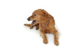 ilsken hund Royaltyfri Fotografi