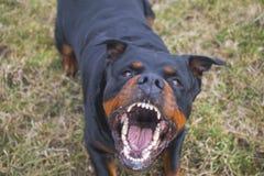 Ilsken hund Arkivbild