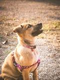 Ilsken hund Royaltyfri Foto