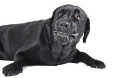 Ilsken hund (labrador) royaltyfri fotografi