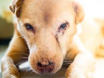 Ilsken hund med det sårade ögat arkivbilder