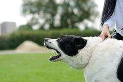 Ilsken hund med gör bar tänder Arkivbilder