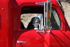 Ilsken hundlastbilsförare. Royaltyfri Fotografi