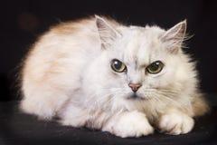 Ilsken katt Royaltyfria Foton