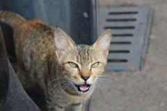 Ilsken katt Royaltyfria Bilder
