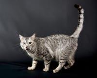 Ilsken katt i svart bakgrund, kattstående, katt i mörk bakgrund, kattståendeslut upp, katt i studio med utrymme för Arkivfoto