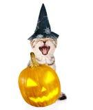 Ilsken katt med pumpa och hatten för halloween Isolerat på vit Arkivbild