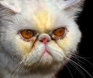 ilsken kattperser fotografering för bildbyråer