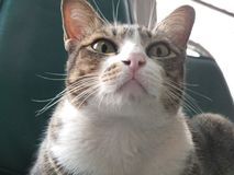 Ilsken kattstirrande på dig arkivfoto
