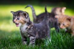 Ilsken kattunge Arkivfoton