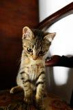 ilsken kattunge som stirrar på kameran Arkivbild