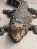 ilsken krokodil royaltyfria bilder
