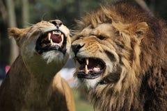 ilsken lion royaltyfri fotografi