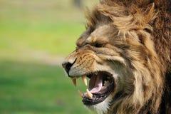 ilsken lion Royaltyfri Bild