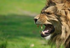 ilsken lion arkivfoto