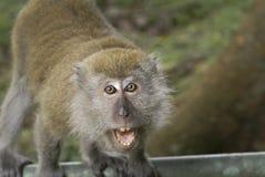 ilsken macaqueapa arkivbild
