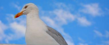 Ilsken men rolig seende seagull Royaltyfria Foton
