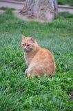 Ilsken och röd katt Arkivfoton