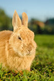 Ilsken orange kanin - nära övre arkivbild