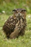 ilsken owl Arkivfoton