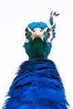 Ilsken påfågel Fotografering för Bildbyråer