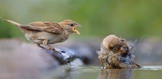 Ilsken sammandrabbning för gråsparvar i vattendammet fotografering för bildbyråer