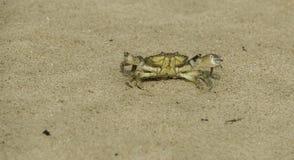 Ilsken seende strandkrabba som är klar att anfalla fotografering för bildbyråer