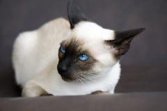Ilsken Siamese kattunge Arkivbild