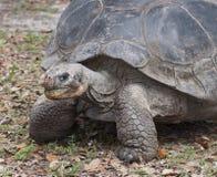 Ilsken sköldpadda med den blodade ner näsan Arkivfoton